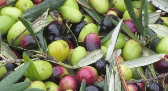 oliva olive oliva coratina