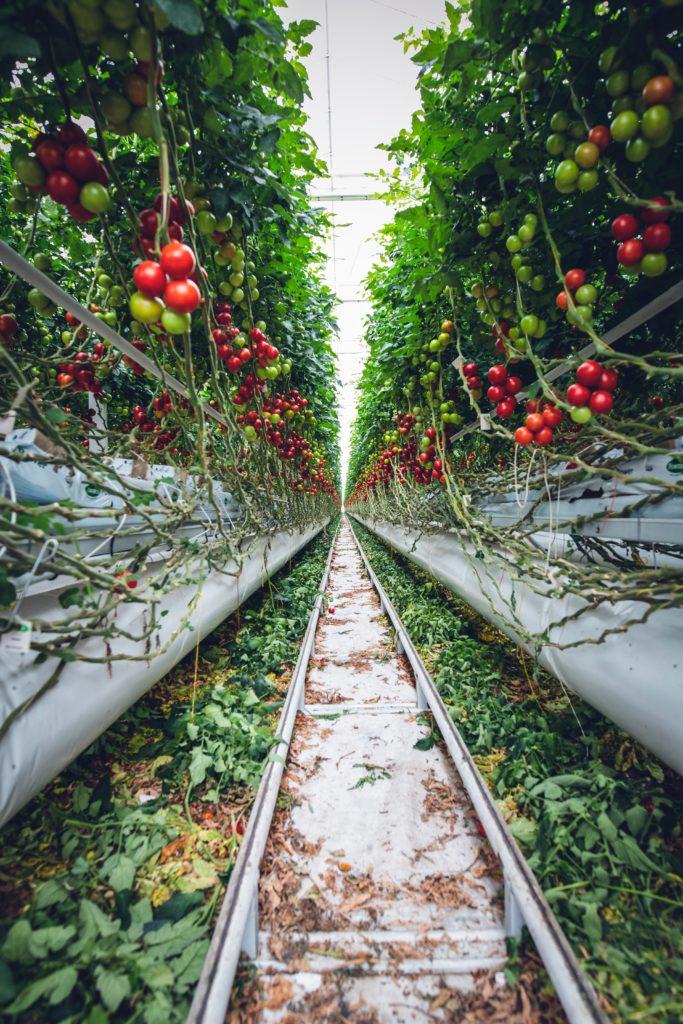 agricoltura 4.0 pomodoro
